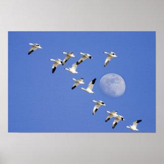 Los gansos de nieve toman vuelo en el lago NWR Fre Póster