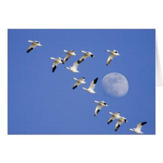 Los gansos de nieve toman vuelo en el lago NWR Fre Tarjeta De Felicitación