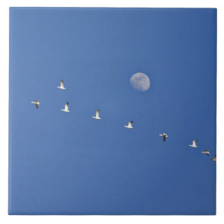 Los gansos de nieve y los gansos canadienses toman azulejo cuadrado grande