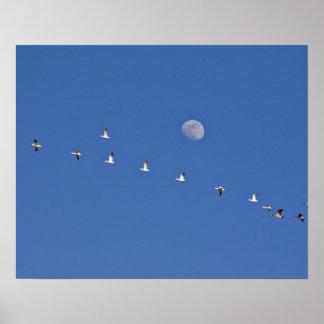 Los gansos de nieve y los gansos canadienses toman poster