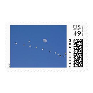 Los gansos de nieve y los gansos canadienses toman sellos postales