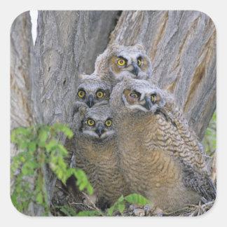 Los grandes Owlets de cuernos (virginianus del Pegatina Cuadrada