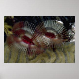 Los gusanos hermosos de la fan adornan un arrecife poster