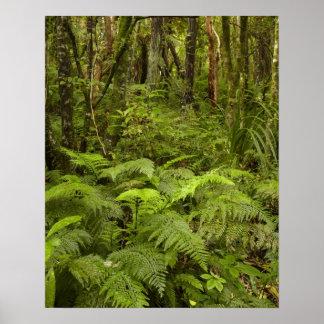 Los helechos y el arbusto nativo cerca de Matai ca Póster
