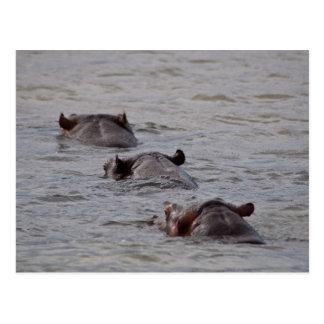 Los hipopótamos van para una nadada postales