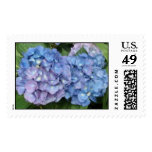 Los Hydrangeas azules teñieron con púrpura