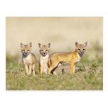 Los jóvenes rápidos del Fox (macrotis del Vulpes)  Tarjeta Postal