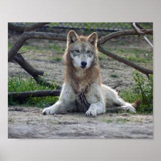 Los lobos enmarcaron la impresión - U elige el mar Impresiones