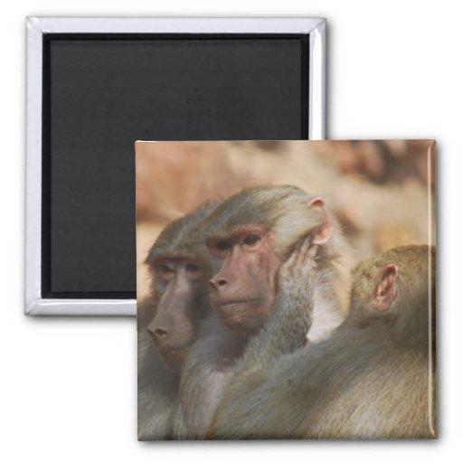 Los monos limpian los oídos imán para frigorífico