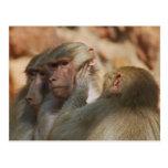 Los monos limpian los oídos postal