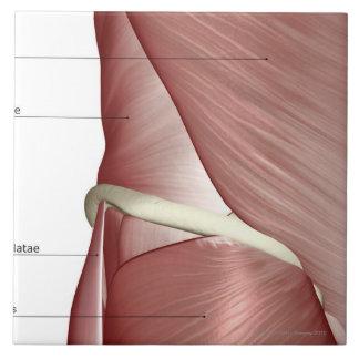 Los músculos de la parte inferior del cuerpo azulejo cuadrado grande