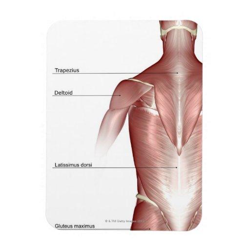 Los músculos del cuerpo superior imanes