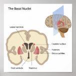Los núcleos básicos del poster del cerebro