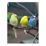 Los Parakeets coloridos brillantes Budgies repiten Tarjeta Postal