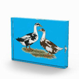 Los patos Ancona se emparejan