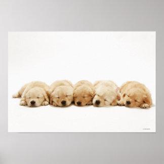 Los perritos del golden retriever poster