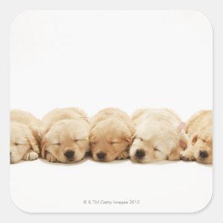 Los perritos del golden retriever calcomanías cuadradas personalizadas