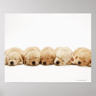 Los perritos del golden retriever póster