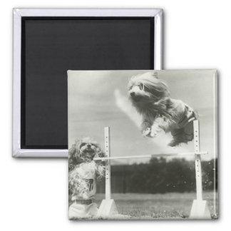 Los perros que saltan sobre barra miniatura del sa imanes para frigoríficos