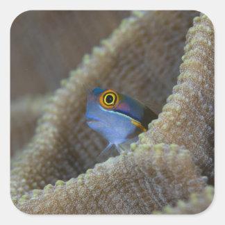 Los pescados del Blenny que es el Blenniidae que Calcomanía Cuadradas Personalizadas