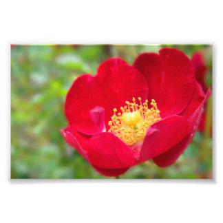 Los rosas son impresión roja de la foto