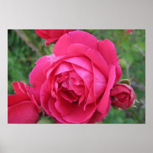 Los rosas son poster rojo