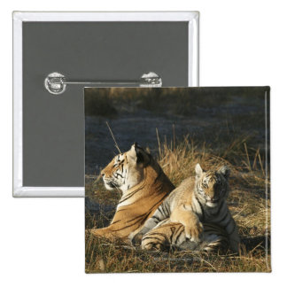 Los tigres (Panthera el Tigris) paren la mentira Pin Cuadrado