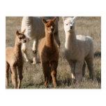 Los tres amigos, Alpaca-Estilo Postal