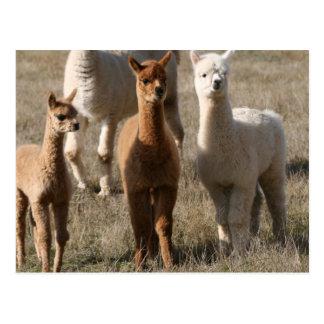 Los tres amigos, Alpaca-Estilo Tarjeta Postal