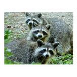 Los tres mapaches tarjetas postales