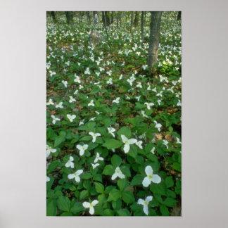los Trilliums blancos en Gatineau parquean, Quebec Posters