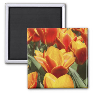 Los tulipanes abundan en los jardines de Keukenhof Imanes Para Frigoríficos