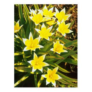 """los tulipanes amarillos de la especie, """"Tulipa Tar Postal"""