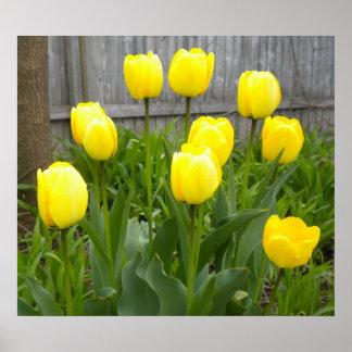 Los tulipanes amarillos poster