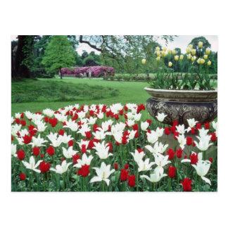 Los tulipanes rojos y blancos amarillos, Kew culti Postal