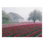 Los tulipanes rojos y rosados saludan el día en un fotos
