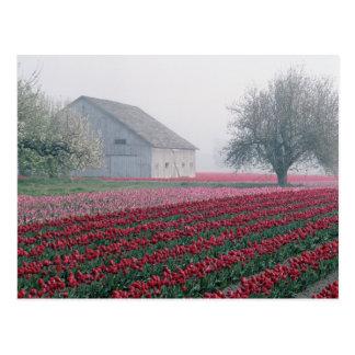 Los tulipanes rojos y rosados saludan el día en un postales