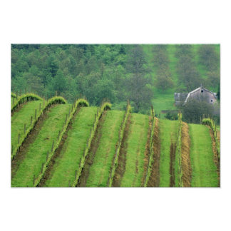 Los viñedos de la uva acercan a Newberg Oregon Póster