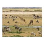 Los Wildebeests, las cebras y las jirafas Tarjeta Postal