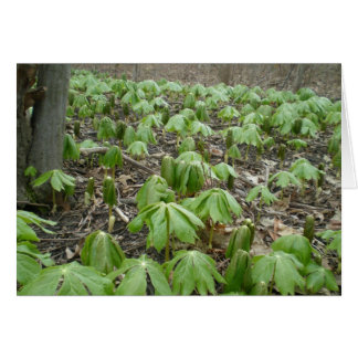 Los Wildflowers de Mayapple se abren como los para Tarjetas
