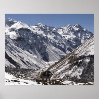 Los yacs acercan a Mt. Jhomolari, Jangothang Jigme Póster