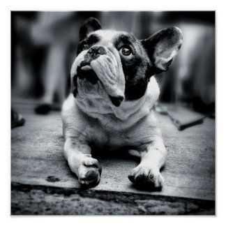 Lost In The Crowd -  A Lil' French Bulldog Waits Poster
