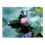 Lotus alrededor a la floración postal