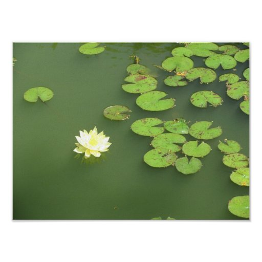 Lotus and Lillypads Poster