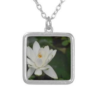 Lotus blanco grimpolas