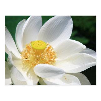 Lotus blanco postal