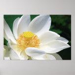Lotus blanco poster