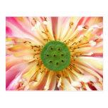 Lotus Bloom Postcard