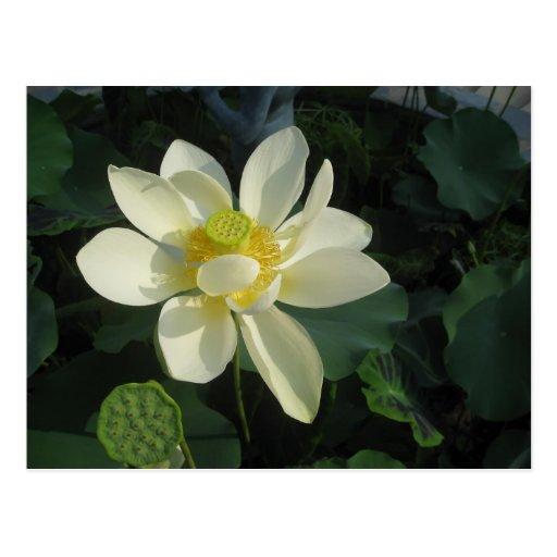 Lotus blooms postcard