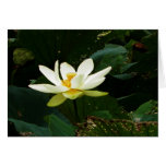 Lotus Blossom-Full Color Greeting Cards